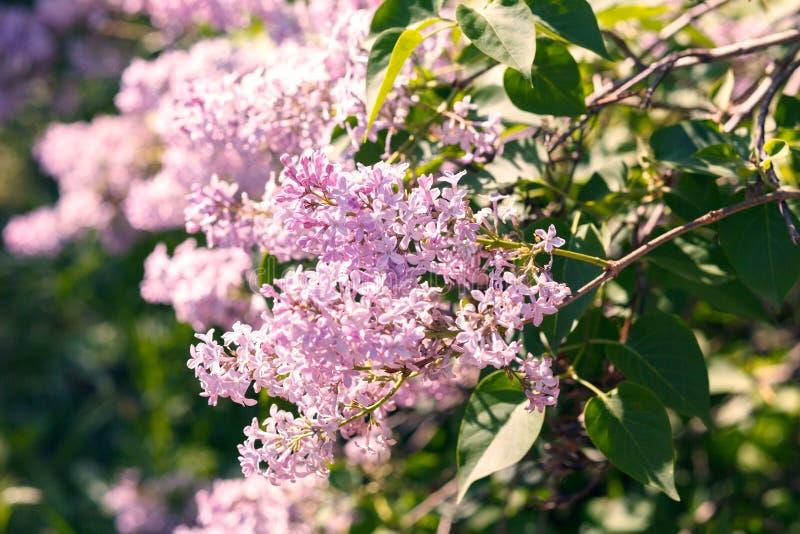 Flores lilás de florescência doces do roxo e as violetas Arbusto lilás violeta de florescência no tempo de mola com luz solar fotografia de stock royalty free