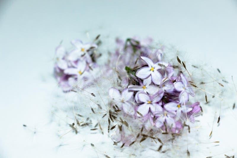 Flores lilás e sementes do dente-de-leão imagem de stock royalty free