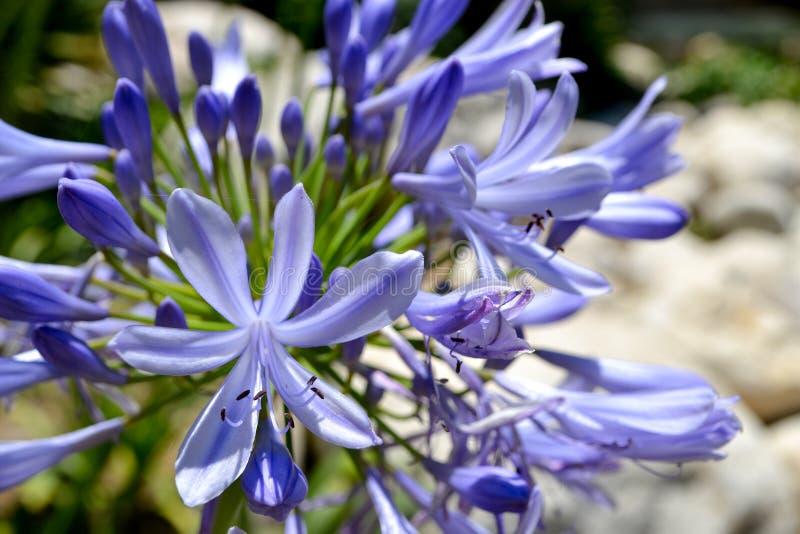 Flores lilás no jardim do verão fotografia de stock royalty free