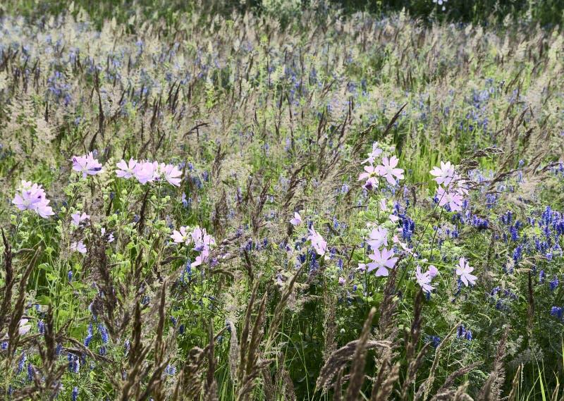 Flores lilás no prado do verão imagens de stock royalty free