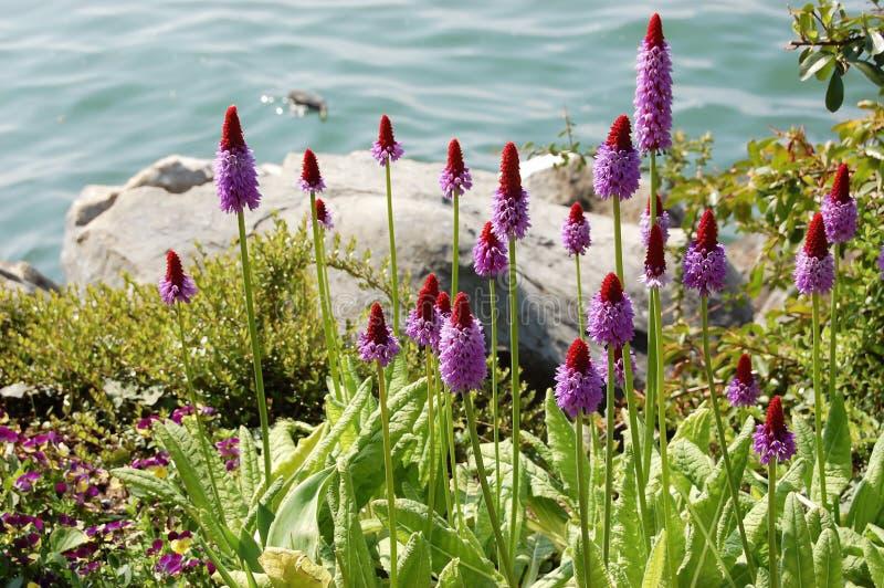 Flores lilás originais bonitas da prímula pelo lago foto de stock