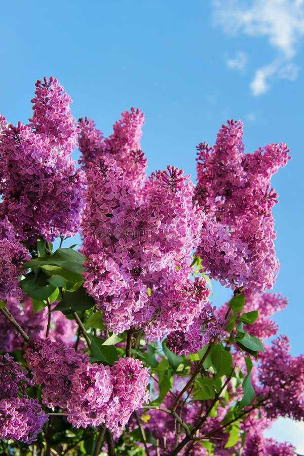 Flores lilás roxas no fundo do céu azul no dia ensolarado da mola imagens de stock royalty free