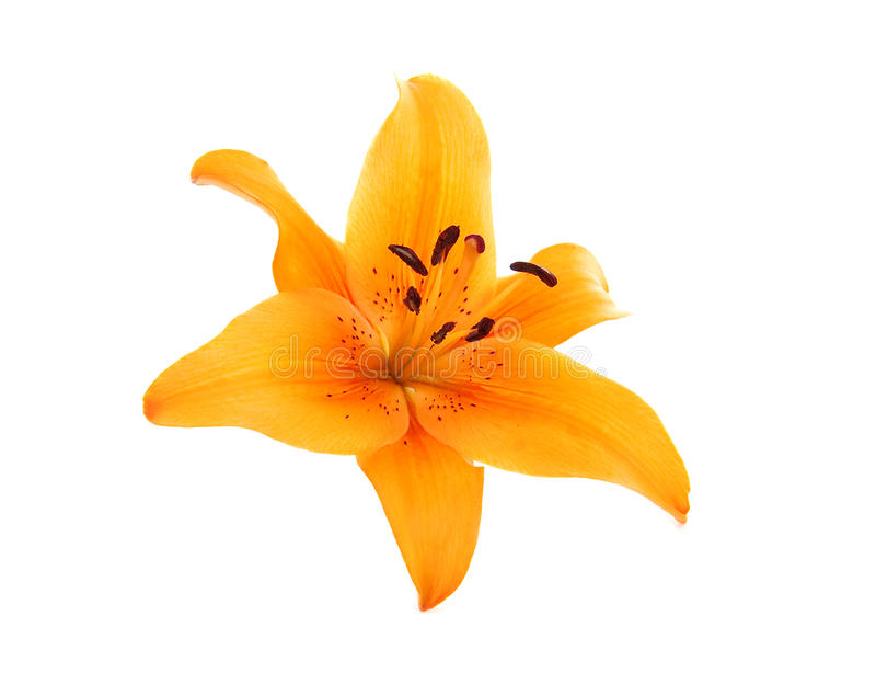 Flores liliy alaranjadas imagem de stock