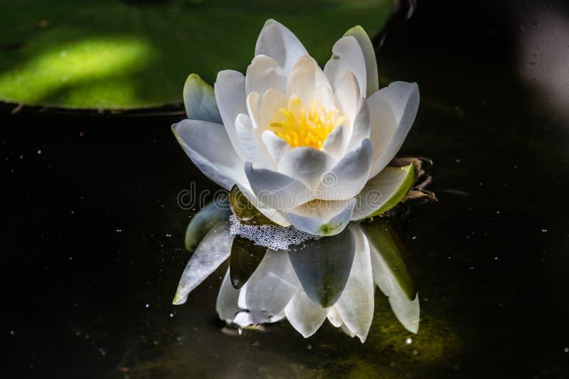 Flores-loto lizenzfreie stockbilder