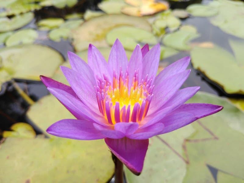 Flores Lotus 123 fotografía de archivo libre de regalías
