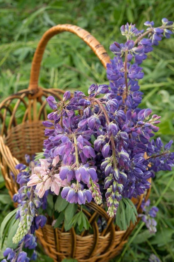 Flores lupine bonitas em uma cesta redonda de vime fotografia de stock