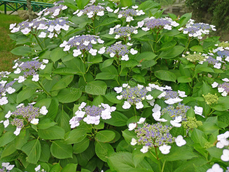 Flores luxúrias do hydrangea no parque imagens de stock royalty free