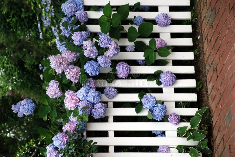 Flores múltiplas do Hydrangea fotografia de stock royalty free