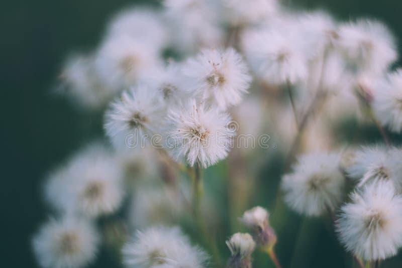 Flores macias brancas butterweed, horseweed, canadensis do erigeron, fleabane canadense, canadensis do conyza, potro-cauda na imagens de stock royalty free