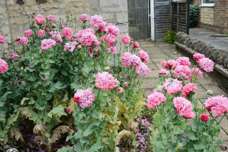 Flores macias cor-de-rosa lindos da pe?nia que florescem no jardim, dia de ver?o ensolarado fotografia de stock royalty free