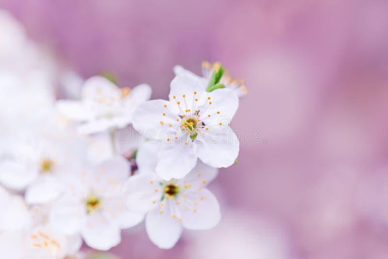 Flores macias da árvore de fruto no fundo cor-de-rosa fotografia de stock