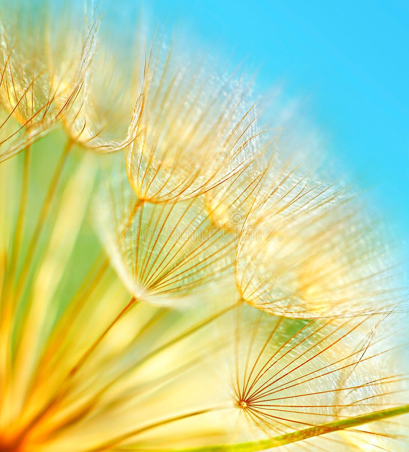 Flores macias do dente-de-leão imagem de stock