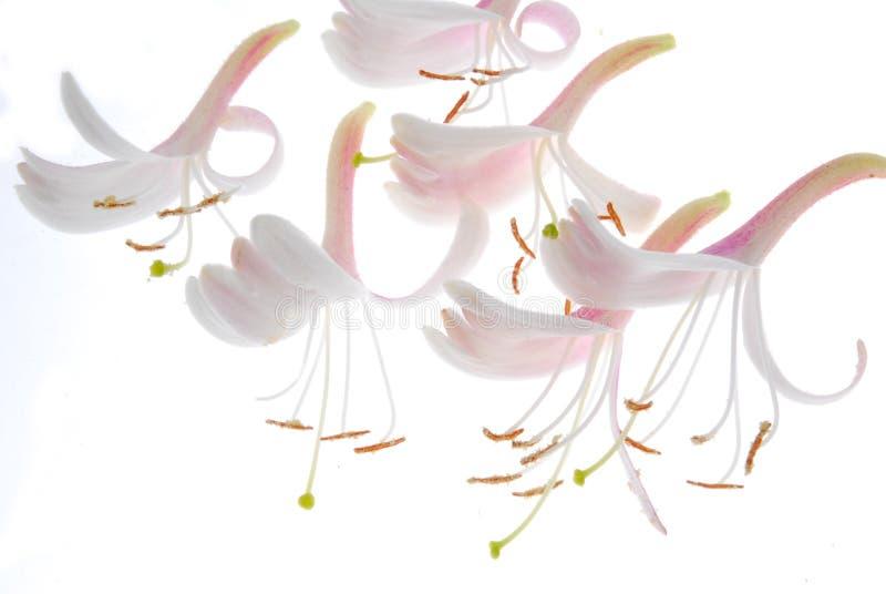Flores macias do jasmim fotos de stock royalty free