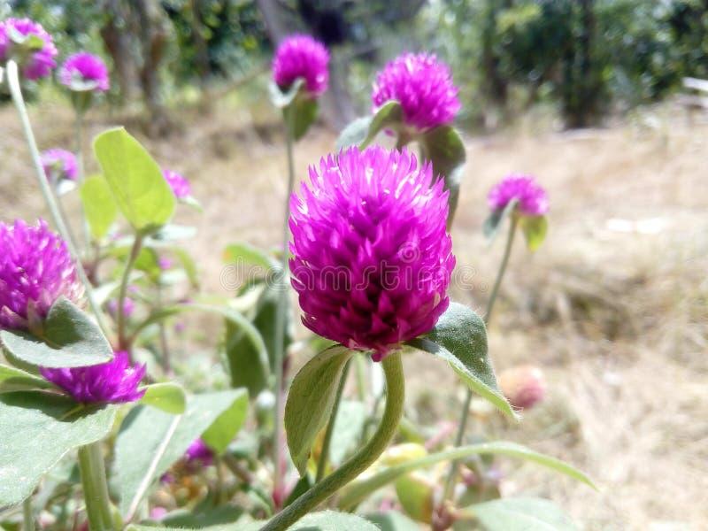 Flores macras foto de archivo libre de regalías