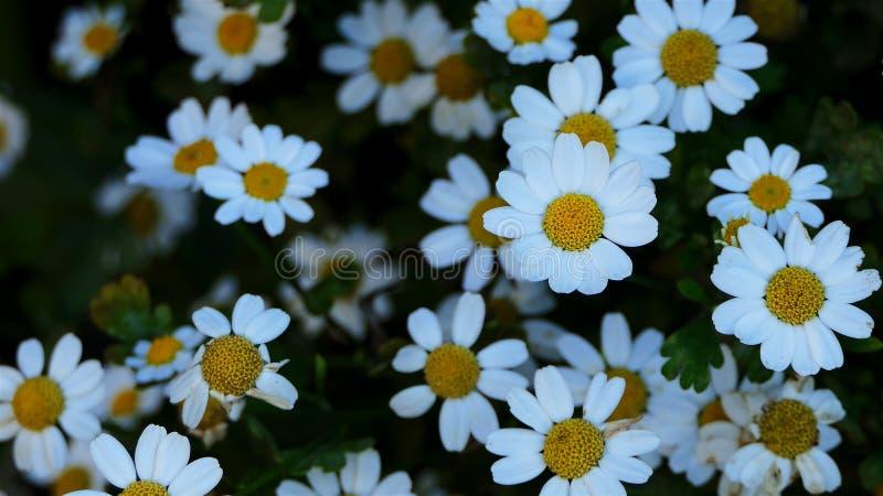 Flores macro da camomila acima da vista Flores da margarida branca Campos de flor do fundo da natureza, prado da flor selvagem, B fotografia de stock royalty free
