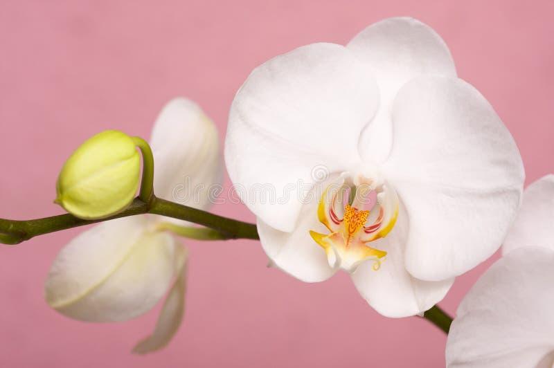 Flores macros de la flor de la orquídea imagen de archivo