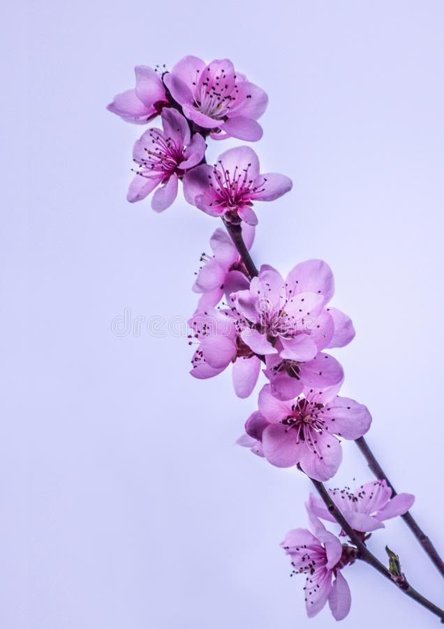 Flores magentas cor-de-rosa maravilhosas no ramo de uma árvore na mola sobre o céu roxo no por do sol imagem de stock royalty free