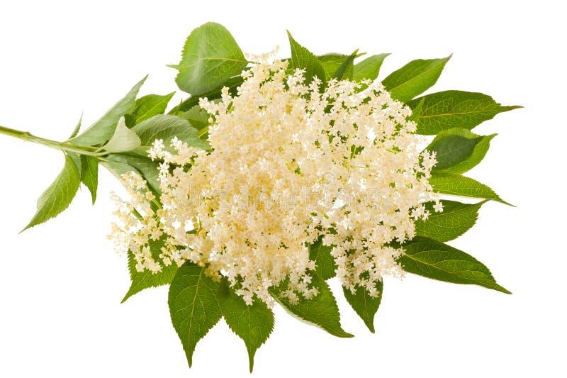 Flores mais velhas imagens de stock