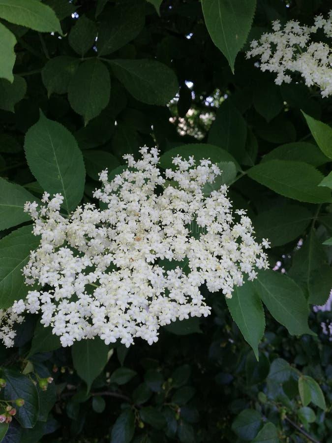 Flores mais velhas fotos de stock