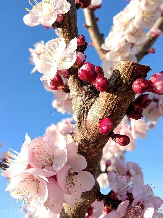Flores maravilhosas do pêssego imagens de stock royalty free