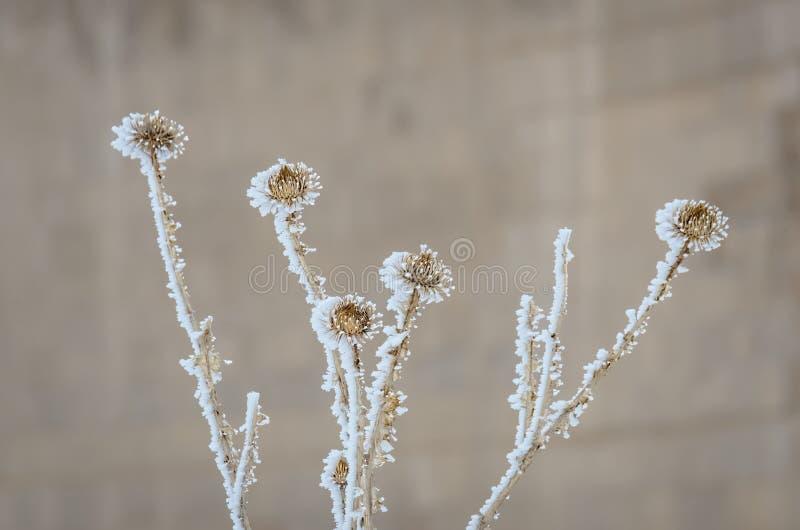 Flores maravillosamente congeladas de la espina en la opinión del primer fotos de archivo