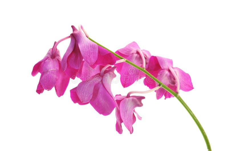 Flores marchitadas de la orquídea imágenes de archivo libres de regalías