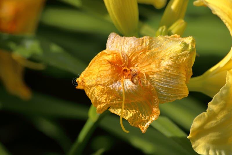 Flores marchitadas pero aún coloridas del daylily imagen de archivo