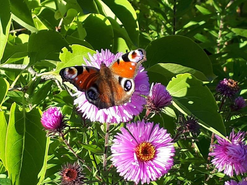Flores Mariposa Otoño Verde Ojo imagen de archivo libre de regalías