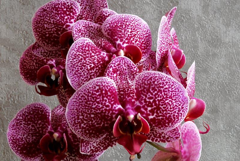 Flores marrón rojas de las orquídeas en fondo oscuro fotos de archivo
