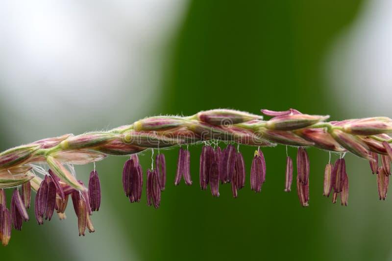 Flores masculinas del maíz fotos de archivo