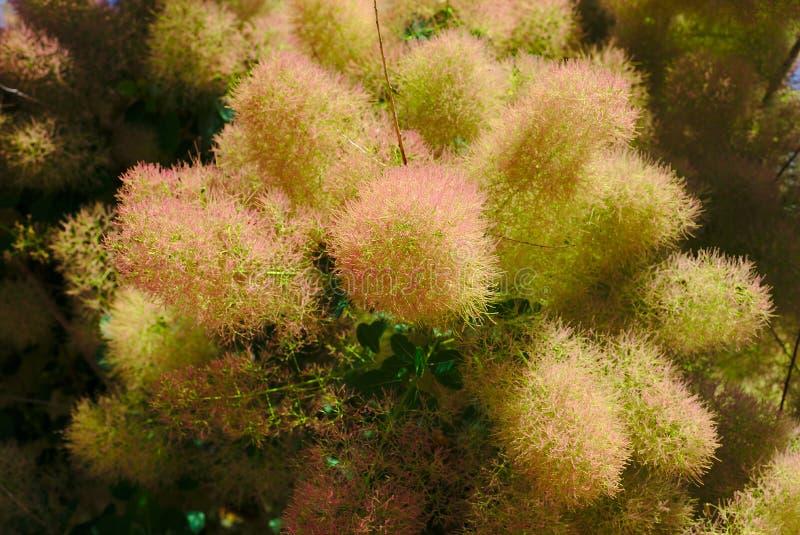 Flores melenudas de un árbol a una peluca foto de archivo libre de regalías