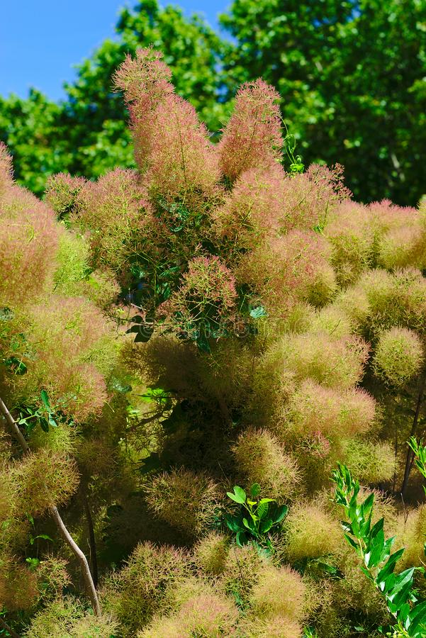 Flores melenudas de un árbol a una peluca imagenes de archivo