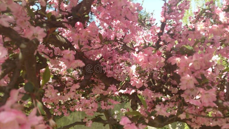 Flores minúsculas consideravelmente cor-de-rosa em Japão fotos de stock royalty free