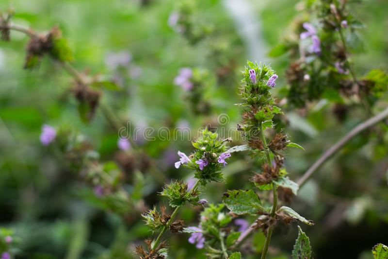 Flores minúsculas cor-de-rosa comuns pequenas e ramos verdes fotos de stock