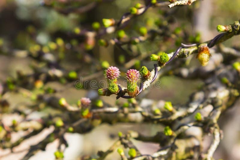 Flores minúsculas en una rama de un árbol de los bonsais del alerce europeo que se ha atado con alambre recientemente fotos de archivo