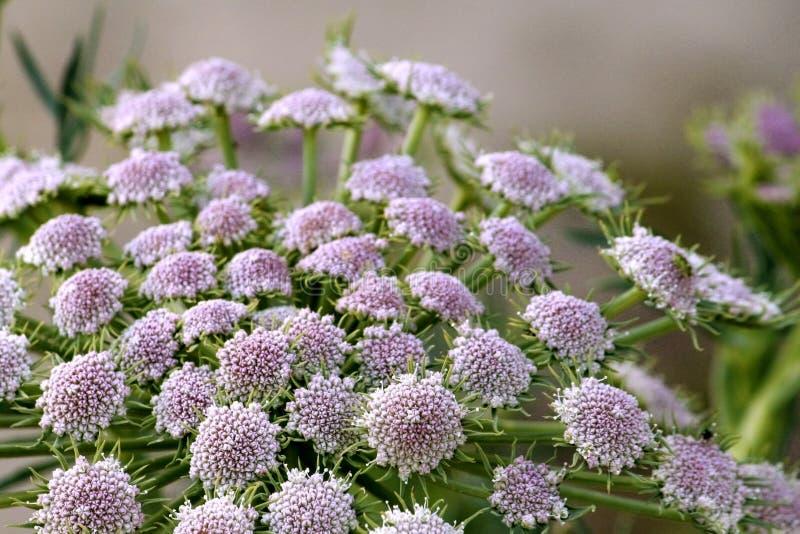 Flores minúsculas hermosas con tono sutil de púrpura y blanco rosados imagen de archivo