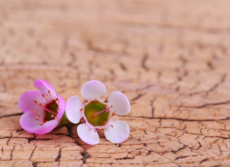 Flores minúsculas púrpuras en fondo de madera imagen de archivo