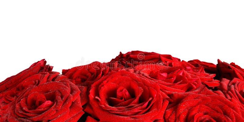 Flores molhadas vermelhas das rosas isoladas no fundo branco foto de stock