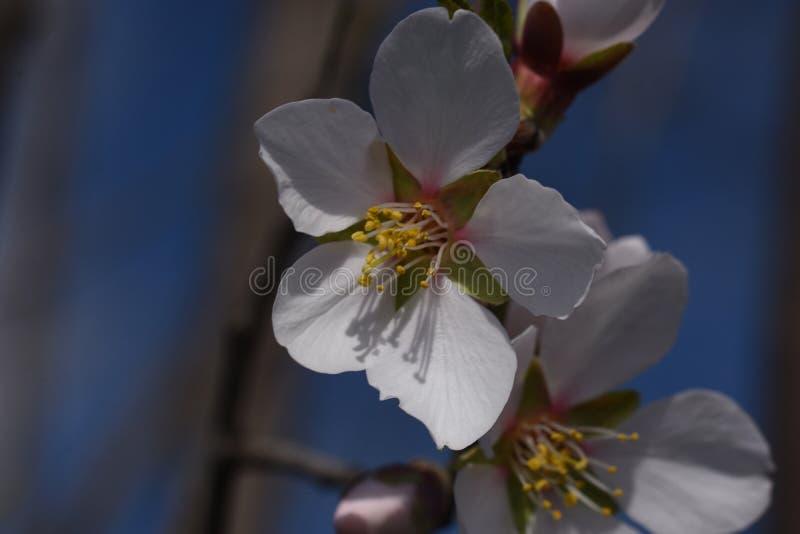 Flores muito consideravelmente brancas da mola na luz do sol fotos de stock royalty free