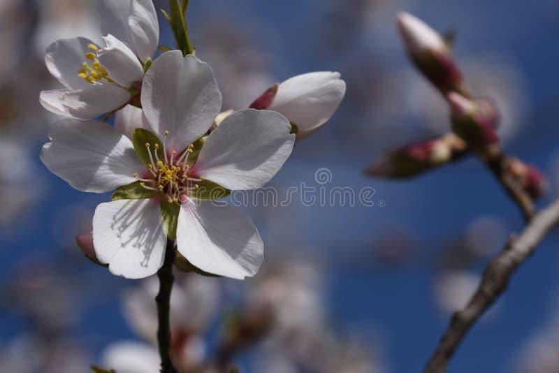 Flores muito consideravelmente brancas da mola na luz do sol imagem de stock
