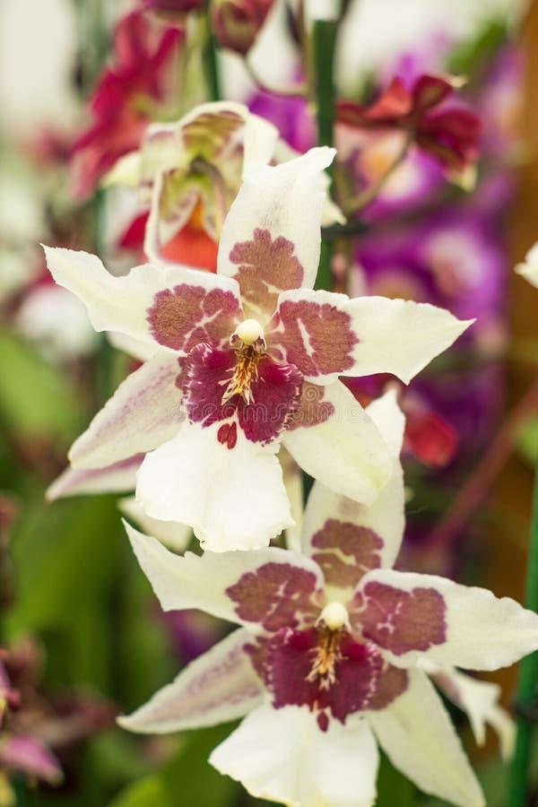 Flores muito raras da orquídea do jardim do keukenhof foto de stock royalty free