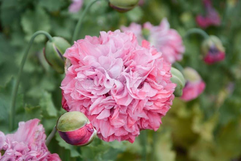 Flores mullidas rosadas magn?ficas de la peon?a que florecen en el jard?n, d?a de verano soleado foto de archivo libre de regalías