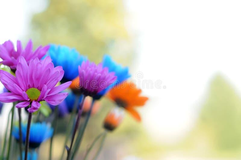 Flores multicoloras de la margarita fotos de archivo