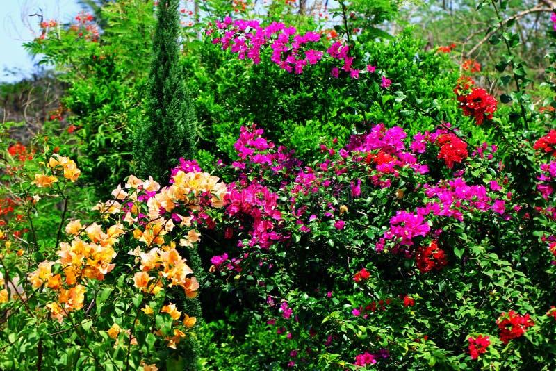 Flores Multicolour da buganvília bonita fotos de stock