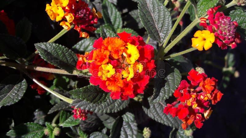Flores Multicolour do Lantana fotos de stock royalty free