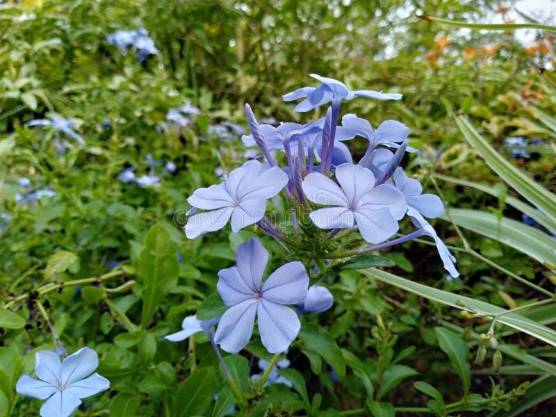 Flores muy hermosas en Sri Lanka foto de archivo libre de regalías