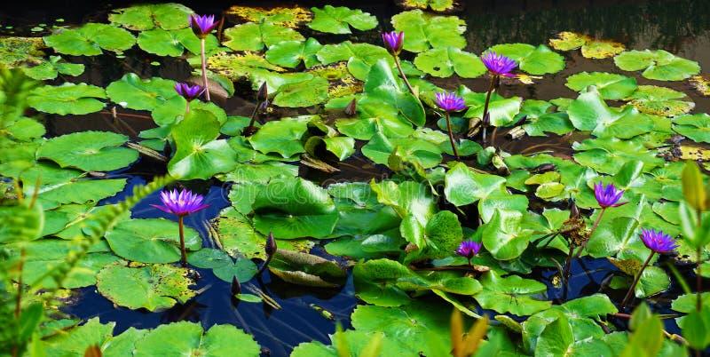 Flores na água fotografia de stock