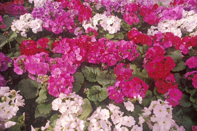 Flores na flor, jardim, Laguna, CA foto de stock royalty free