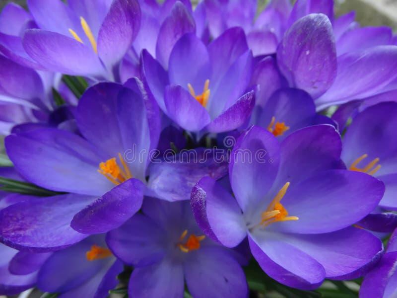 Flores na mola adiantada, açafrão foto de stock