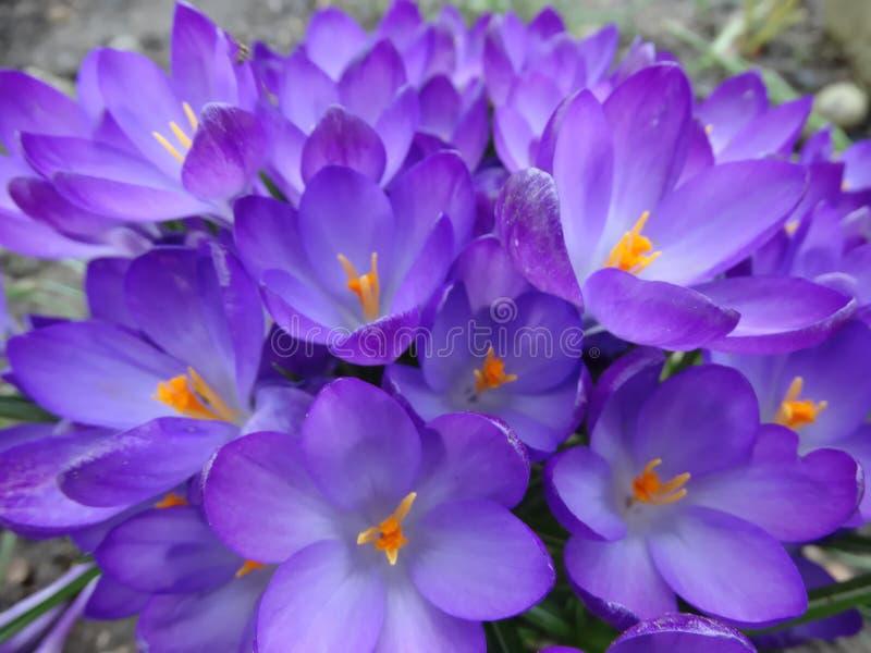 Flores na mola adiantada, açafrão fotografia de stock royalty free